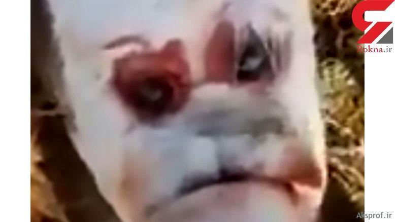 عکس تولد گوساله عجیب الخلقه با چهره انسانی در آرژانتین