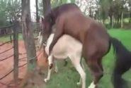 جفت گیری اسب و خر – جفت گیری خر و اسب