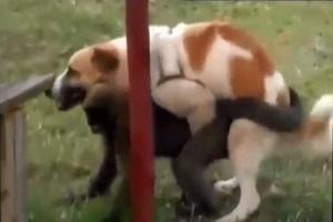 جفت گیری تمام حیوانات با هم ( گلچین از جفت گیری خر و اسب و گربه و میمون +18 )