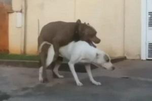 جفت گیری سگ را تا بحال دیده بودید؟